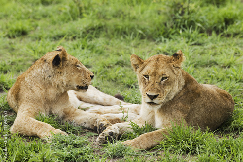 Female lions Panthera leo lying on grass