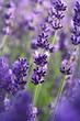 Leinwanddruck Bild - Lavendelblüten