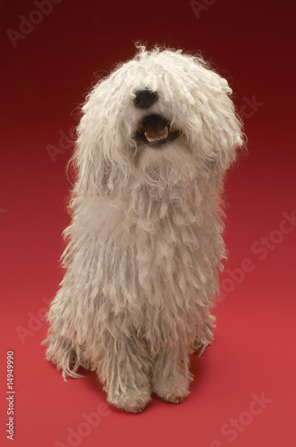 Cute Komondor dog, on red background