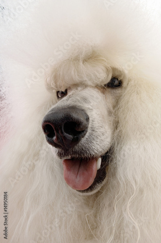 White Poodle, close-up