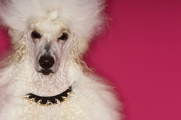 White Poodle on pink background, close-up