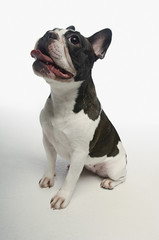 French Bulldog on white background