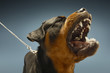 Angry Rottweiler on blue background