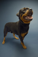 Rottweiler on blue background