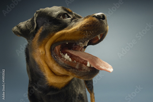 Rottweiler on blue background, close-up