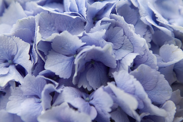 hyacinth background