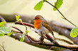 robin red breast at summer