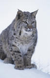 Wild cat sitting in snow