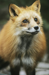 Fox, close-up