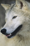Wolf, close-up of head