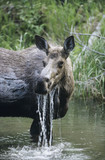 Female moose in lake