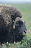 Buffalo, close-up of head