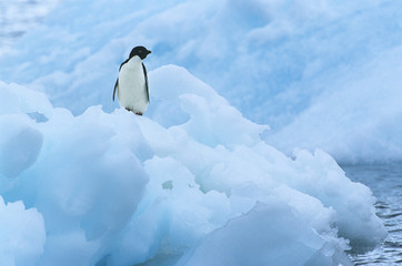 Penguin on iceberg
