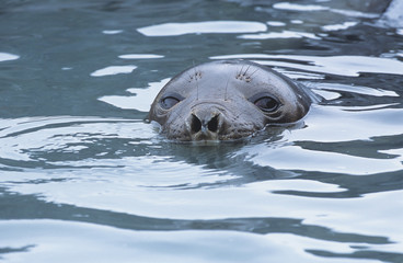 Seals head in water