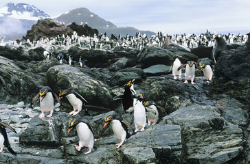 Large colony of Penguins on rocks
