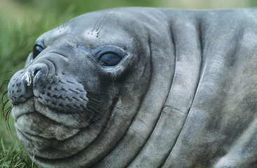 Seal, close-up of head