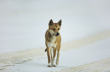 Australian Dingo on beach