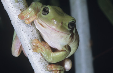 Green tree frog on branch, close-up