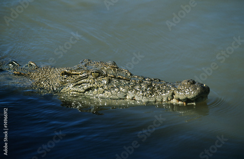 Australian Saltwater Crocodile in water