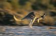 Kangaroo bouncing through desert