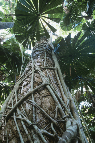 Australia, Queensland, Fan palms in rainforest