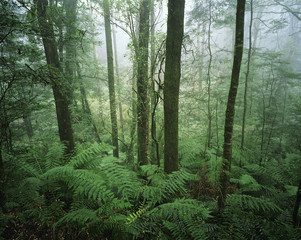 Australia, trees in rainforest