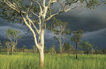 Australia, Eucalyptus trees in field