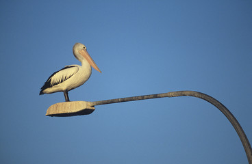 Australian Pelican perched on lamp post