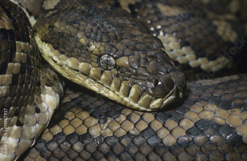 Carpet Python, close-up