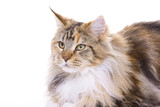 Cat sitting on white background, Maine Coon poster