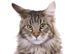 Cat portrait, Maine coon poster