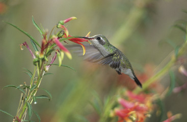 Humming bird feeding from flower
