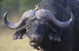 Cape Buffalo Syncerus Caffer with bird on head, close-up