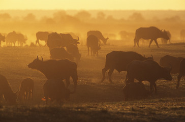 Cape Buffalo Syncerus Caffer grazing on savannah at sunset