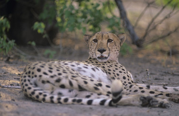 Cheetah Acinonyx Jubatus lying on sand
