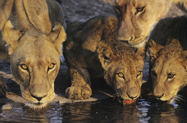 Group of Lions drinking at waterhole, close-up