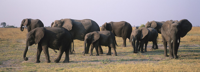 African Elephants Loxodonta Africana on savannah
