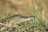 Crocodile in grass