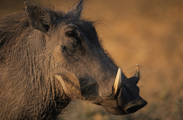 Warthog, close-up
