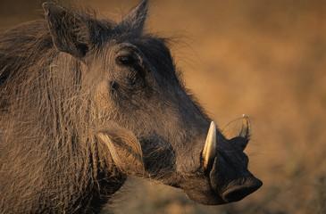 Warthog, close-up