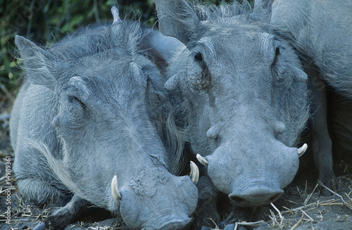 Two Warthogs side by side, close-up