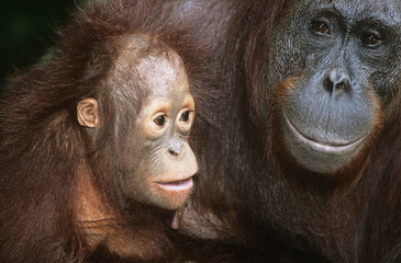 Orangutan with young, close-up