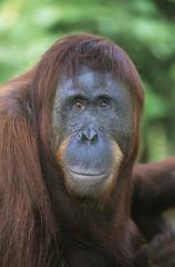 Orangutan, close-up