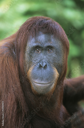Orangutan, close-up