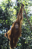 Orangutan hanging in trees