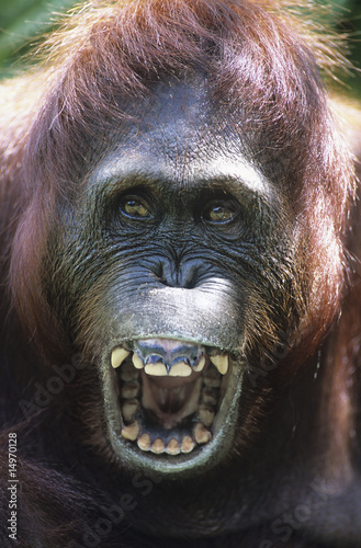 Orangutan howling, close-up