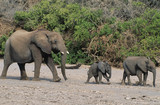 Three African Elephants Loxodonta Africana in a row