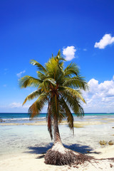 Palm tree on beach of Punta Cana, Dominican Republic