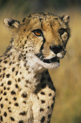 Cheetah Acinonyx Jubatus close-up