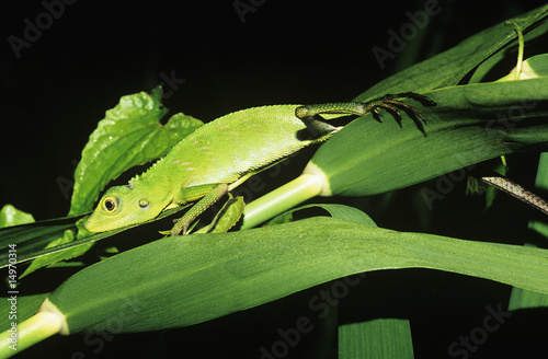 Green lizard among leaves
